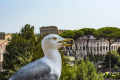 Gull On The Outlook With Colosseum. Seagull Watching Rome With Colosseum. Bird In The Roman Forum, The Historic City Center, Roma, Royalty Free Stock Image