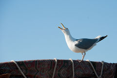 Gull with open beak. On a clear blue sky Stock Images