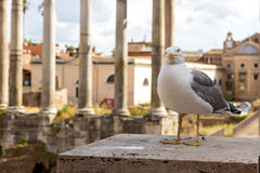 Gull on the outlook Stock Image