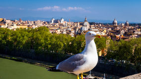 Gull on the outlook above historical center of Rome. Seagull sta Stock Images