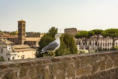 Gull on the outlook with Colosseum. Seagull watching Rome with Colosseum. Bird in the Roman Forum, the historic city center, Roma,. Gull on the outlook with Stock Photo