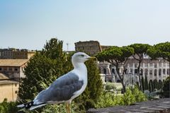 Gull on the outlook with Colosseum. Seagull watching Rome with Colosseum. Bird in the Roman Forum, the historic city center, Roma,. Gull on the outlook with Stock Images