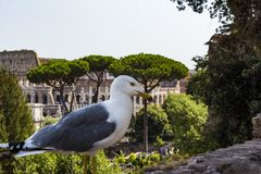 Gull on the outlook with Colosseum. Seagull watching Rome with Colosseum. Bird in the Roman Forum, the historic city center, Roma,. Gull on the outlook with Royalty Free Stock Image