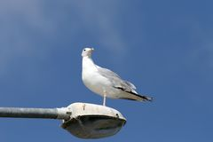 Gull over blue sky Stock Image