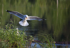 Gull over the nest Royalty Free Stock Photo