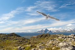 Gull over the Norwegian island Stock Image