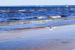 Gull over sea stock images
