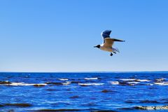Gull over sea stock photography