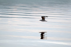 Free Gull Over The Water Royalty Free Stock Image - 26071256