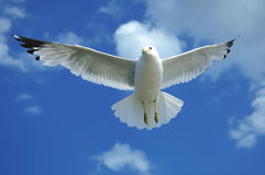 Gull Overhead. Seagull flying overhead with wings spread out wide Royalty Free Stock Photo