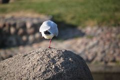 gull Pájaro Una pierna imágenes de archivo libres de regalías