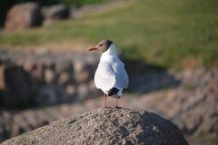 gull Pájaro Una pierna fotos de archivo libres de regalías