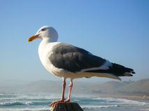 Gull on the Pacific Ocean Stock Images