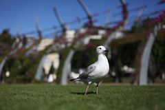 Gull in the Park stock photography