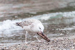 Gull that pecks food Stock Images