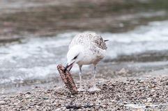 Gull that pecks food Stock Photography