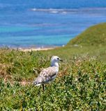 Gull on Penguin Island, Indian Ocean, Western Australia stock image