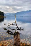 Gull Perched on Branch in a Lake Royalty Free Stock Image