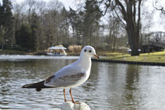Gull Royalty Free Stock Photography