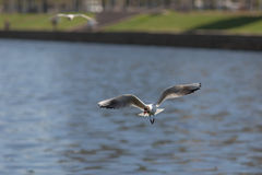 Gull with piece of bread Royalty Free Stock Photo