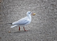 Gull with a piece of bred. At the Salzach river in Salzburg Stock Photography