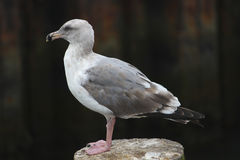 Gull on a Pier. A Gull on a Pier in California royalty free stock photography