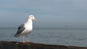 Gull at the pier San Francisco stock video
