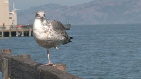Gull at the pier in San Francisco stock video footage