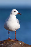 Gull Portrait Royalty Free Stock Photos