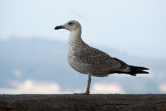 Gull portrait Royalty Free Stock Images