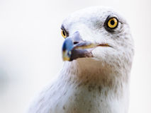 Gull portrait head sea life Royalty Free Stock Photos