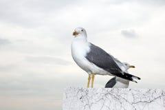 Gull portrait Stock Photography