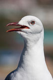 Gull portrait Royalty Free Stock Photography
