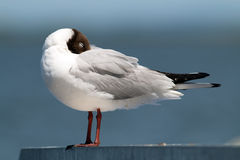 Gull portrait. stock images