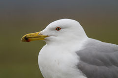 Gull portraite Royalty Free Stock Images