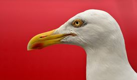 Gull portret Royalty Free Stock Photo