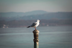 Gull posing on the lake Royalty Free Stock Photography