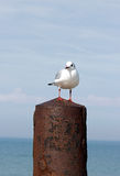 Gull on a post in metal. Stock Photography