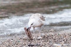 Gull que alimento das beijocas Fotografia de Stock