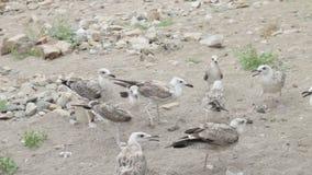 Gull que comida de los peckes en orilla al mar almacen de metraje de vídeo