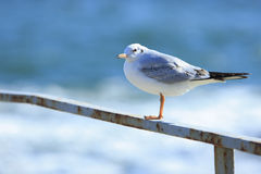 Gull on the rail Stock Images