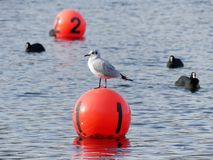 Gull on red yachting buoy at Rickmansworth Aquadrome, Hertfordshire stock photos