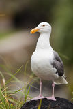 Gull resting on a black rock Stock Image