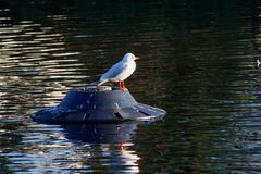 A gull resting on a bouy. A gull resting and drying out on a bouy in the middle of a lake royalty free stock images