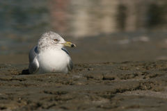 Gull Resting. A Ring-billed Gull resting on a beach near the Atlantic Ocean in Florida Royalty Free Stock Image