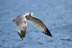 Seagull Flying By Royalty Free Stock Image