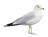 Gull. Ring-billed Gull (Larus delawarensis) on a white background with clipping path royalty free stock image