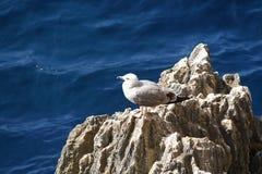 Gull on rock Stock Image