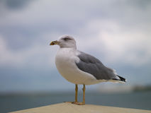 Gull on a rock Royalty Free Stock Images