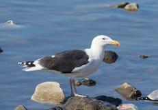 Gull on rocks Stock Images